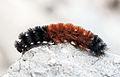 Pyrrharctia isabella - Caterpillar - Devonian Fossil Gorge - Iowa City - 2014-10-15 - image 3.jpg