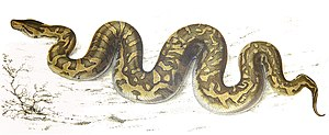 African rock python - An 1840 drawing of the southern subspecies by Sir Andrew Smith