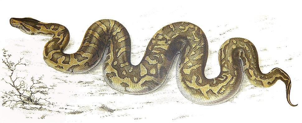 Python natalensis Smith 1840