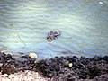 Python sebae watering hole, Fathala Reserve, Karang, Senegal.jpg
