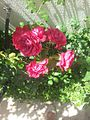 Qızıl güller.jpg