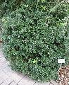 Quercus coccifera - Bergianska trädgården - Stockholm, Sweden - DSC00368.JPG