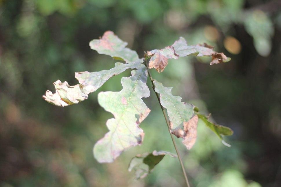 Quercus robur (2)
