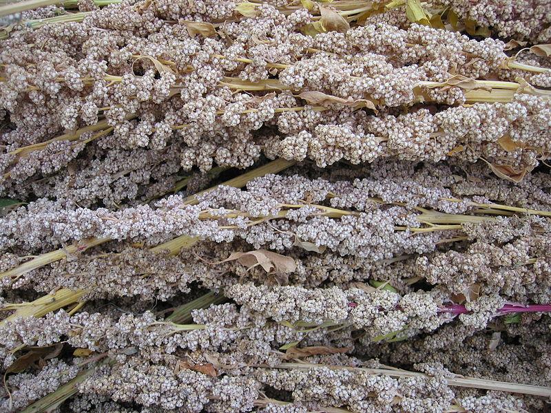 File:Quinoa near Juliaca.JPG
