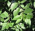 RN Ulmus pumila leaves.JPG