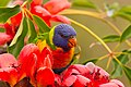 Rainbow Lorikeet with Red Silk Cotton Flowers - AndrewMercer IMG15870.jpg
