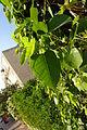 Ramat Gan Leaves 12 2015 (2).JPG