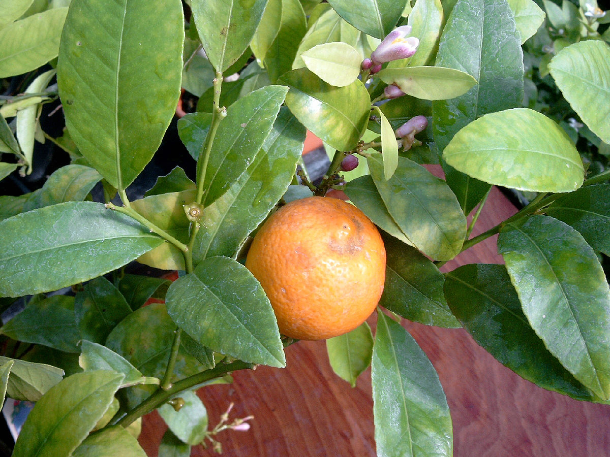 Citrus limonia wikipedia la enciclopedia libre for Significado de ornamental wikipedia