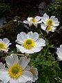 Ranunculus alpestris flowers Valais.jpg