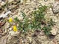 Ranunculus repens sl1.jpg