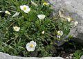 Ranunculus seguieri ENBLA01.JPG