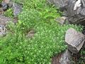 Rare plant at valley of flowers 3.jpg