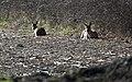 Rastende Rehe, resting deer, Capreolus capreolus.jpg