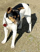Rat Terrier Ruby