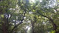 Ratargul Swamp Forest Up.jpg