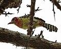 Red-and-yellow Barbet (Trachyphonus erythrocephalus).jpg