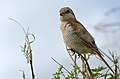 Red-backed Shrike (Lanius collurio) female (16348090408).jpg