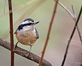 Red-breasted Nuthatch (39078151772).jpg