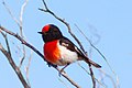 Red-capped Robin (Petroica goodenovii) (8079688390).jpg