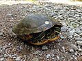 Red-eared slider Tyson Research Center.JPG