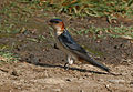 Red-rumped Swallow (Hirundo daurica) collecting mud for nest W IMG 7954.jpg