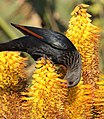 Red-winged starling 2017 07 08 0599.jpg