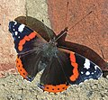 Red Admiral - geograph.org.uk - 527999.jpg