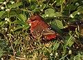 Red Avadavat Amandava amandava by Dr. Raju Kasambe DSCN2500 (8).jpg