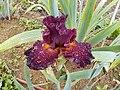 Red Iris.jpg