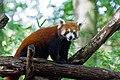 Red Panda (37500382751).jpg