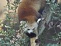 Red Panda 08.jpg