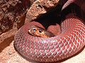 Red Spitting Cobra.jpg