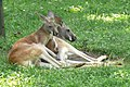 Red kangaroo pair.jpg