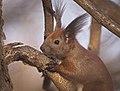 Red squirrel (51018196533).jpg