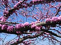 Redbud against sky.JPG