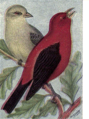 Reed-scarlet-tanager.png