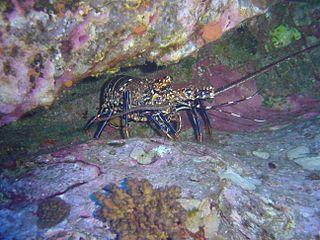 <i>Panulirus pascuensis</i> species of crustacean