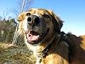 Rescue dog in Finland.jpg