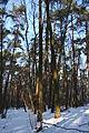 Rezerwat Kolno Międzychodzkie 319c grąd zniekształcony nasadzeniami sosny (3).jpg