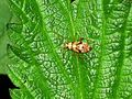 Rhabdomiris striatellus (Miridae sp.) nymph, Elst (Gld), the Netherlands.jpg