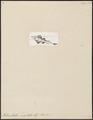 Rhinobatus undulatus - - Print - Iconographia Zoologica - Special Collections University of Amsterdam - UBA01 IZ14200023.tif