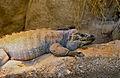Rhinoceros Iguana (Cyclura cornuta)(captive specimen) (14699711399).jpg