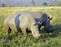 Rhinoceros in South Africa.jpg