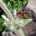 Rhodanthidium sticticum. - Flickr - gailhampshire.jpg