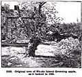 Rhode Island Greening original apple tree in Foster RI.jpg