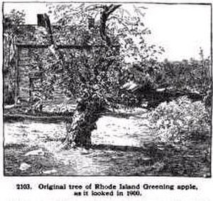 Rhode Island Greening - Image: Rhode Island Greening original apple tree in Foster RI