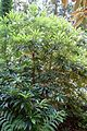 Rhododendron calophytum var. openshawianum - UBC Botanical Garden - Vancouver, Canada - DSC08087.jpg