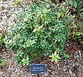 Rhododendron minus - Mendocino Coast Botanical Gardens - DSC02214.JPG