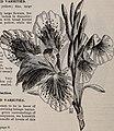Rhododendrons, boxwood, azaleas, clematis, novelties, bay trees, hardy plants, evergreens - novelties bulbs, cannas novelties, palms, araucarias, ferns, vines, orchids, flowering shrubs, ornamental (19940011654).jpg