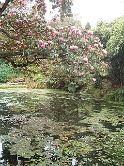 Rhododendrons over water, Heligan - geograph.org.uk - 82844